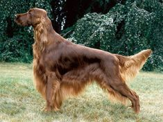 Irish Setter. AKA Irish Red Setter...looks just like my Dublin aka Dubby!  Miss her!!!