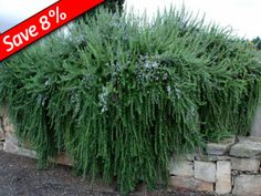 Creeping Rosemary - Rosemary prostratus - Fragrant ground cover for sun! Perfect with KnockOut Roses, Ornamental Grasses, Sedums, & Coneflowers Ground Covers For Sun, Ground Cover Plants, Full Sun Perennials, Full Sun Plants, Fast Growing Hedge, Growing Herbs, Knockout Roses, Drought Tolerant Plants, Ornamental Grasses