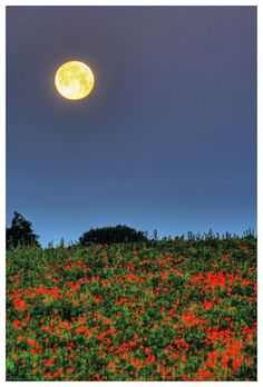 The moon sets over a field of poppies in the Chilterns, 30 miles north west of London photographed by Ian Blair