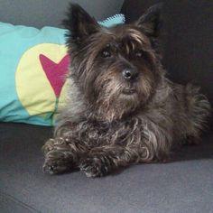 My Cairn Terrier