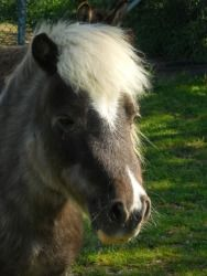 Peanut is an adoptable Miniature Horse Miniature Horse in Nicholasville, KY. Peanut is an adorable little pony that is looking for a forever home. She is great with other animals. We've had her with e...