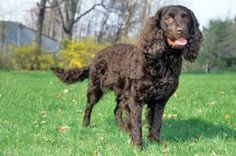 Boykin Spaniel Information and Pictures - Petguide
