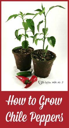 How to grow chile pe