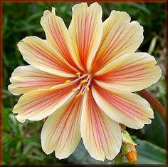 an evergreen species Beautiful Flowers Pictures, Beautiful Rose Flowers, Unique Flowers, Flowers Nature, Flower Pictures, Exotic Flowers, Amazing Flowers, Pretty Flowers, Flower Bird