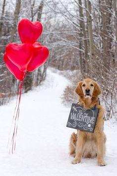 Valentine's Day from my golden retriever #GoldenRetriever