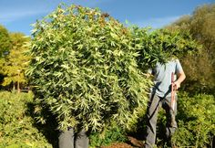 Although hemp and marijuana look and smell the same, the two cannabis plants are quite different. (From PBS NewsHour)
