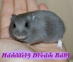 Mijn Russische Dwerghamsters - Hamstery Dream Baby