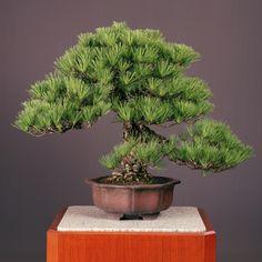 「黒松」常滑輪花鉢 #bonsai #盆栽