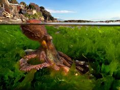 National Geographic. Octopus, Italy.