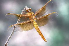 Dragonfly | by katkitkat67