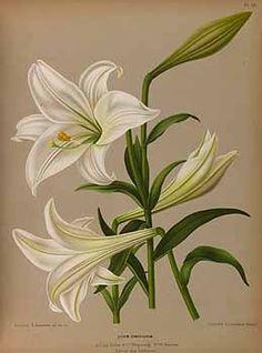 165416 Lilium longiflorum Thunb. / Eeden, A.C. van, Album van Eeden, Haarlem's flora, afbeeldingen in kleurendruk van verschillende bol- en knolgewassen, p. 37, t. 50 (1872-1881)