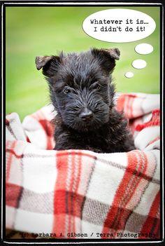 scottie dog!