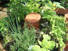 An OLLA is an unglazed clay pot fired at a low temperature. This allows the pot to remain porous. The OLLA is buried in the ground with neck exposed and periodi Water Garden Plants, Weeds In Lawn, Water Waste, Smart Garden, Home Vegetable Garden, Urban Farming, Save Water, Garden Gifts, Planting Seeds