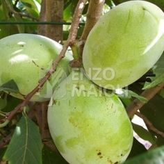 Asimina Triloba Prima 1216 ® Gialla (d'innesto) AUTOFERTILE