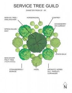 Service Tree Guild-Midwest Permaculture