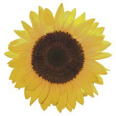 Sunflower by VenusOak