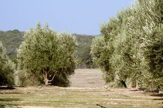 First Texas Olive Oil Co., Bella Vista Ranch, Wimberley, Texas - you can taste the grassy, peppery, and most importantly, FRESH olive oil that we've been making here since 2001.