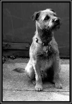 The durable, wiry coat must be brushed weekly and professionally groomed twice a year. The object is really a totally natural appear. The Border Terrier sheds little to no hair and is good for allergy sufferers. Puppies And Kitties, Doggies, Fluffy Puppies, Best Dog Photos, Terrier Dogs, Terrier Mix, Border Terrier, Best Dog Breeds, Brown Dog