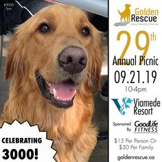 Sam #3000 wants to personally invite you to the 29th Annual Golden Rescue Picnic, sponsored by GoodLife Fitness! It's taking place on Saturday September 21st at the beautiful Viamede Resort! You don't want to miss this incredible day where we are Celebrating 3000! To learn more or to reserve your spot, please email picnic@goldenrescue.ca   #goldenretriever #rescuemissionoflove #rescuedog Rescue Dogs, Invite, Life Is Good, Picnic, September, 21st, The Incredibles, Fitness, Animals
