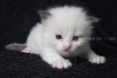 3 Week oud. Ragdoll Lady Sif, Cats, Animals, Gatos, Animales, Kitty Cats, Animaux, Animal Memes, Cat Breeds