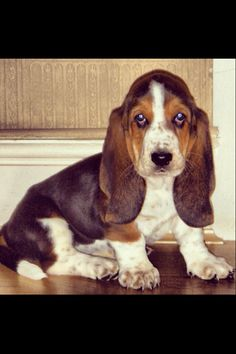 My Basset hound puppy 8 weeks old  This reminds me of my dog Venus when she was a puppy