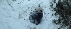 Baby Panda's First Snow Storm Will Make All That Cold Worth It- I could watch this for hours!!