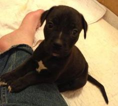 Dozer is an adoptable Labrador Retriever Dog in Homer, NY. Dozer is about 8 weeks old and weighed 6.9 lbs at 7 weeks old. Mom is a small lab mix. He is the largest boy and a clumsy little guy at that!...