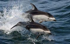 Demand SeaWorld Stop Plans to Import Dolphin from Japan SEA WORLD COMPRA DELFINES A JAPÓN. ESOS DELFINES SON LOS MEJORES DE LOS ATRAPADOS EN EL MATADERO DE TAIJI. NOSOTROS FIRMAMOS PARA IMPEDIRLO Y QUE TAIJI PIERDA UN MOTIVO RENTABLE DE SU CACERÍA. ¡¡¡FIRMEMOS!!!