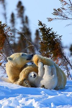 Mother and baby polar bear playing.