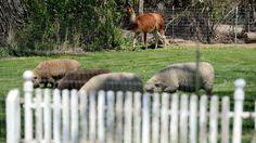 UNA LLAMA DE PASEO URBANO. Empleados y oficiales de policía del condado de Boulder intentan enlazar a una llama llamada Ethel fuera de un campo de alfalfa el martes 3 de mayo de 2106 cerca de Niwot, Colorado, EE.UU. Se necesitaron dos horas para acorralar a la llama que se escapó de su pastura en zonas rurales de Colorado y vagó por calles carreteras transitadas. (Mateo Jonas / Daily Camera a través de AP) - See more at…
