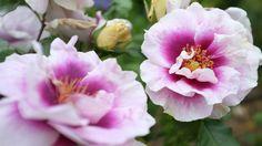 Les rosiers arbustifs : faciles d'entretien et polyvalents