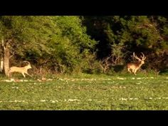 Are you interested in axis deer hunting? Want to see hunters in action? See this video to know the thrill and challenge of axis deer hunting in a Texas ranch.