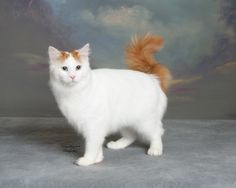 The Turkish Van - the most underrated cat ever...they are so much FUN!