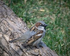 House sparrow House Sparrow, House In Nature, Alberta Canada, Calgary, Gardens, Silver, Animals, Image, Animaux