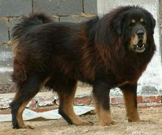 Caucasian Shepherd Dog or Sheepdog / Caucasian Ovcharka / Caucasian Mountain Dog / Kavkazskaïa Nagazi Ovtcharka, this us a tibetan mastiff Caucasian Dog, Caucasian Shepherd Dog, German Shepherd Puppies, Russian Caucasian, Huge Dogs, Giant Dogs, I Love Dogs, Horses And Dogs, Dogs And Puppies