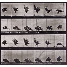 Edward Muybridge. American Eagle Flying Near the Ground, from the Animal Locomotion series. 1887. Collotype photograph.