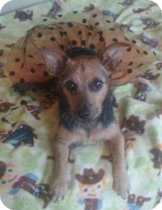 Fort Wayne, IN - Terrier (Unknown Type, Medium) Mix. Meet Sassy, a puppy for adoption. http://www.adoptapet.com/pet/16843245-fort-wayne-indiana-terrier-unknown-type-medium-mix