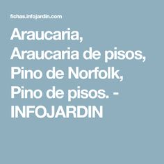 Araucaria, Araucaria de pisos, Pino de Norfolk, Pino de pisos. - INFOJARDIN