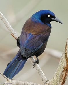 Common Grackle, found throughout North America