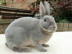 The Lilac is equally a strain of rabbit and a shade of animal. Lilac rabbit is a known breed of rabbit, however, the color 'lilac' can be found in many other ra Meat Rabbits, Raising Rabbits, Bunny Rabbits, Animals And Pets, Baby Animals, Cute Animals, Small Animals, Funny Bunnies, Cute Bunny