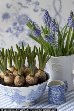 Grape Hyacinths in blue and white bowls (1) From: Image only, no direct url