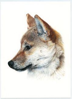 Shiba Inu, Ilustración, Lápiz, Pencil, Crayon, Grafito, Caran d'Ache. Dog portrait