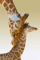 Mommy Giraffe and Baby