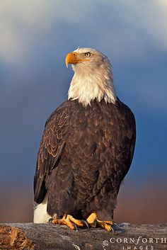Chilkat Bald Eagle