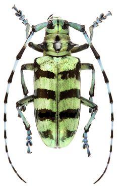 Anoplophora sp.