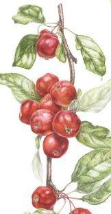 botanical art - Google Search