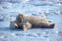 Reclining Polar Bear rolls on the ice at the edge of Hudson Bay. Churchill, Canada
