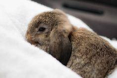 Chestnut Holland Lop #Bunnies