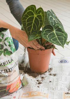 Valitse sopivat huonekasvit ja tutustu niiden vaatimuksiin. Lue Viherpihan selkeät ohjeet huonekasvien hoitoon ja nauti kukoistavista huonekasveista!