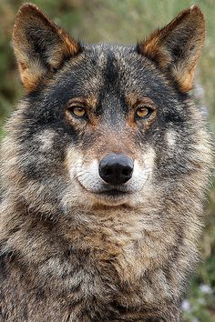 Iberian Wolf, Canis lupus signatus